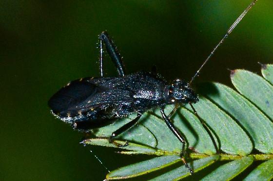 black bug, similar to leaf-footeds - Alydus eurinus