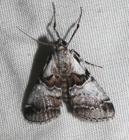Tallula baboquivarialis - Tallula beroella