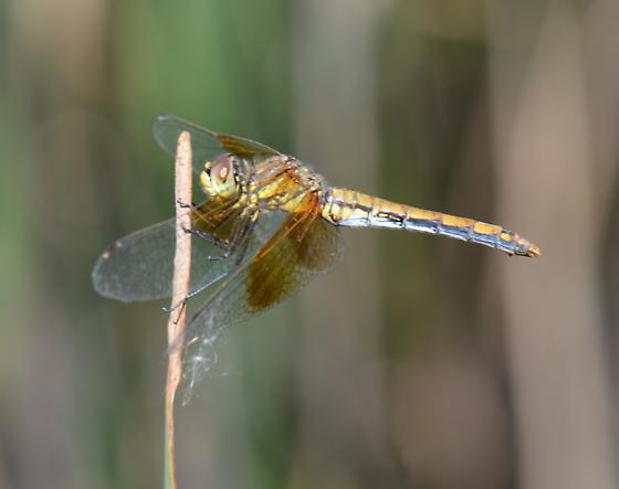 Unidentified Dragonfly - Sympetrum semicinctum