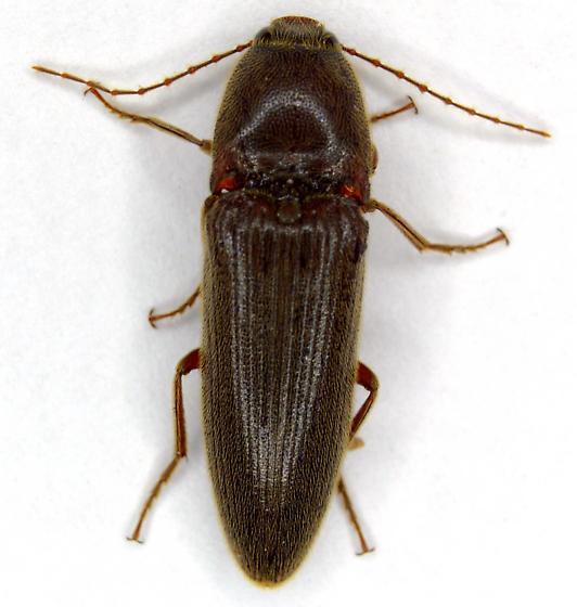06- Click Beetle - Melanotus decumanus - male