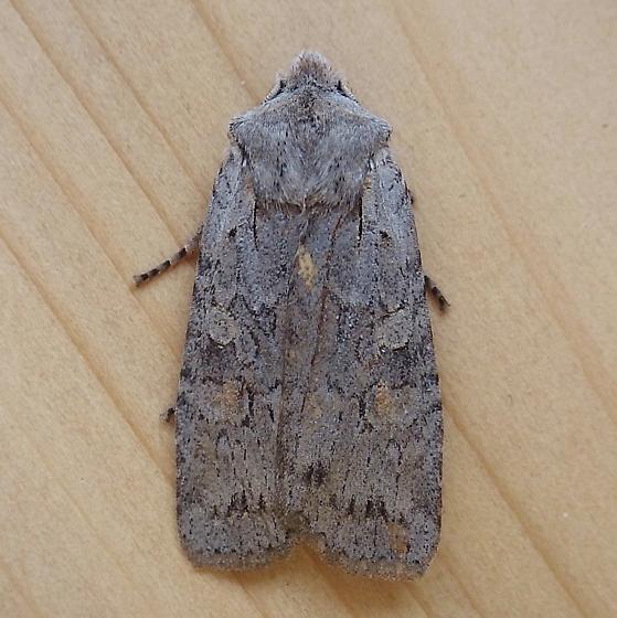 Noctuidae: Lithophane antennata - Lithophane antennata