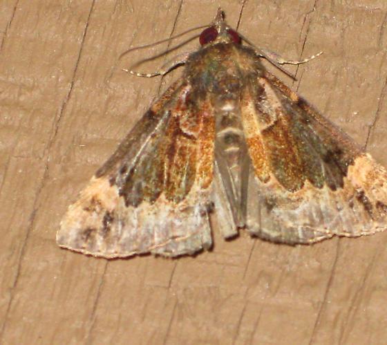 Brown Gray Moth - Hypena palparia