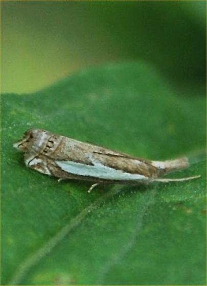 a moth - Crambus
