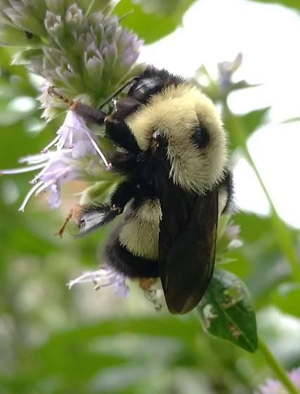 Possible affinis queen - Bombus affinis - female