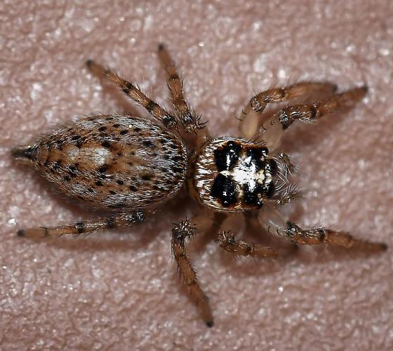 Jumping Spider - Colonus hesperus