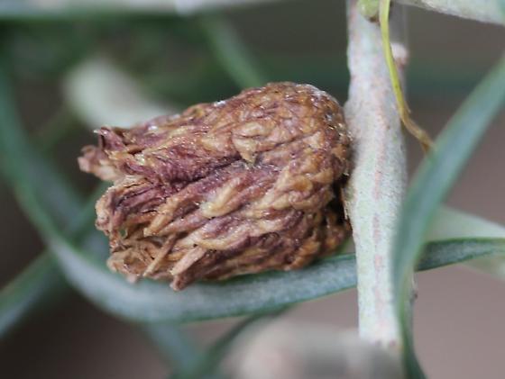 Rabbitbrush (Ericameria) gall - Rhopalomyia ericameriae
