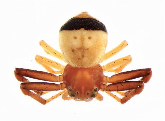 S. parvulum - dorsal - Synema parvulum - female