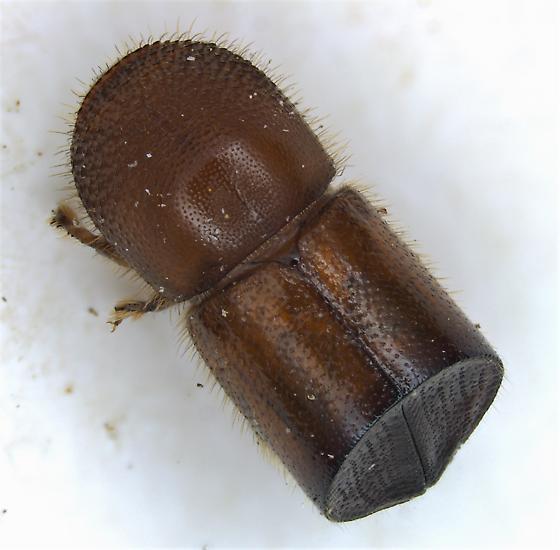 Xylosandrus amputatus - female