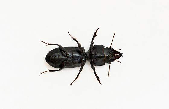 Beetle - Scarites