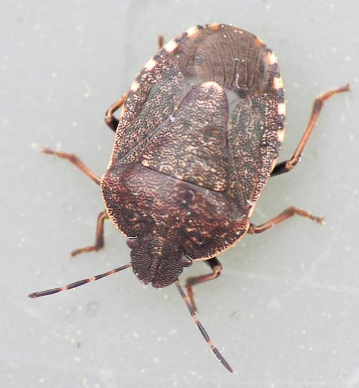 Silver Star Mountain Shield Bug 1 - Holcostethus tristis