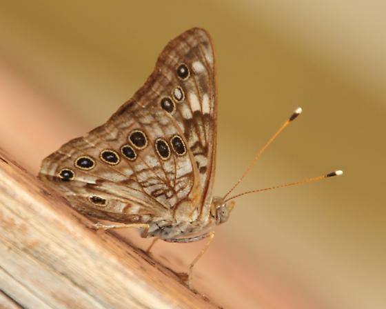 Unidentified butterfly - Asterocampa celtis