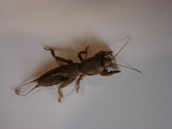Strange and friendly - Neocurtilla hexadactyla - male