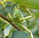 true katydid? - Pterophylla camellifolia - female