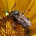 bee - Triepeolus lunatus