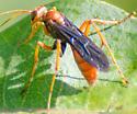 wasp - Priocnessus nuperus