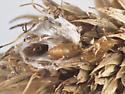 Olethreutinae, spent cocoon on Rattlesnake Master