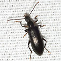 Long-jointed Beetle - Statira basalis