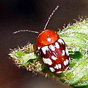 Little red white-spotted bug - Bassareus