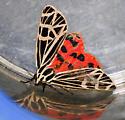 Apantesis virgo - Virgin Tiger Moth - Hodges#8197? - Apantesis