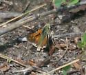 Greenish skipper w/orange wings - Hesperia nevada