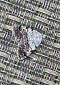 Moth for ID - Idia americalis