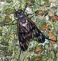 Fly - Rhagio mystaceus