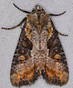 rust brown edged owlet? moth - Lateroligia ophiogramma