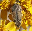 Acmaeodera sp. - Acmaeodera hepburnii