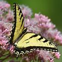 Papilio glaucus? - Papilio glaucus