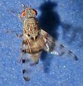 Unidentified Fruit Fly - Pseudotephritina