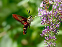 Hemaris thysbe - Hummingbird Clearwing Moth - Hemaris thysbe