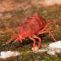 predatory mite