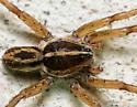 Lycosidae - Tigrosa helluo - male