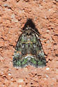 *Solved!* Small Mossy Lithacodia Moth - Lithacodia musta