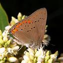 Coral Hairstreak - Satyrium titus - male