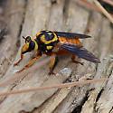 orange and blackfly - Laphria saffrana