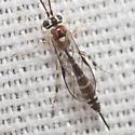 Ichneumon Wasp - Brachycyrtus pretiosus