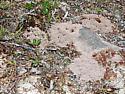 worker and nest - Lasius niger