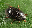 Water Scavenger Beetle - Hydrobius fuscipes