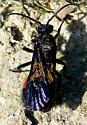 One last Mutillidae - Dasymutilla nigripes - male
