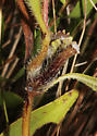 Stem gall on Prairie Sunflower, the other side - Olpodiplosis helianthi
