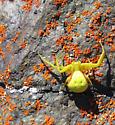 Goldenrod Crab Spider (Misumena vatia) - Misumena vatia - female
