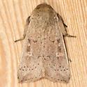Ursula Wainscot - Hodges#10461 - Leucania ursula