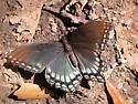 Butterfly (type?) - Limenitis arthemis
