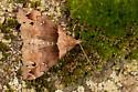 Ambiguous Moth - Lascoria ambigualis