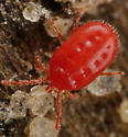 Mite ID - Balaustium