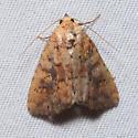 Perigea xanthioides - Red Groundling Moth - Perigea xanthioides
