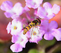 Syrphid Fly - Allograpta