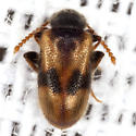 Antlike Leaf Beetle - Zonantes nubifer