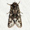 Unknown Moth - Psaphida resumens